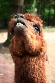 Free Lama Royalty Free Stock Photography - 1611057