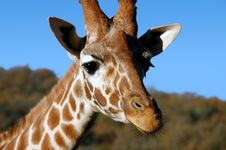 Free Giraffe Closeup Royalty Free Stock Photography - 1611767