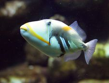 Free Picasso Triggerfish 1 Stock Photography - 1611922