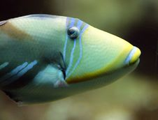 Free Picasso Triggerfish 4 Royalty Free Stock Photography - 1614867