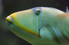 Free Picasso Triggerfish 5 Royalty Free Stock Photography - 1615317