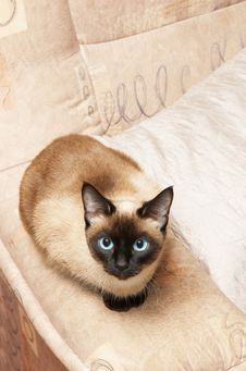 Siamese Cat, Analogous Color Of Background Stock Photo
