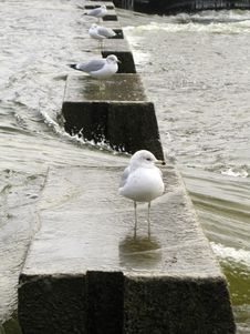 Gulls In A Row Stock Image
