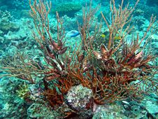 Free Whip Coral Colony Stock Photos - 1619733