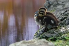 Free Duckling Hesitation Royalty Free Stock Photo - 1619885