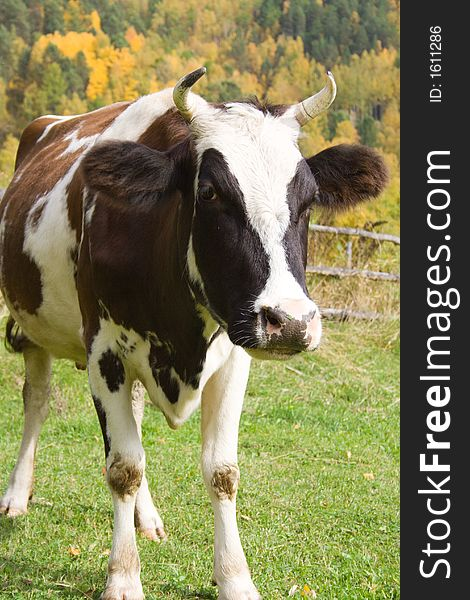 Curious cow on rustic background