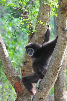 Free Black Gibbon Royalty Free Stock Photos - 16100438