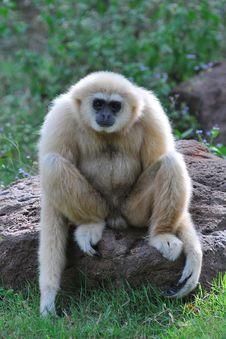 Free White Gibbon Royalty Free Stock Photos - 16100448