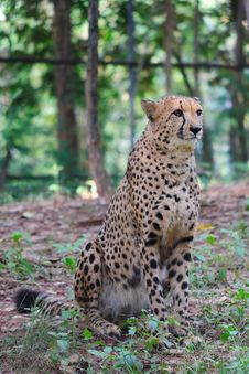 Free Cheetah Stock Photography - 16100482