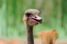 Free Ostrich Royalty Free Stock Photography - 16100527