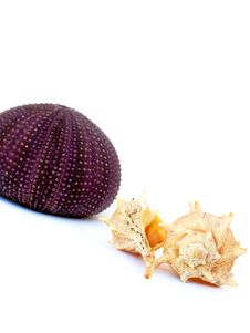 Free Sea Urchin And Shells Royalty Free Stock Photography - 16100697
