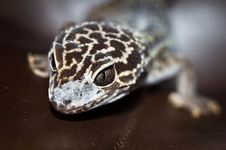 Free Leopard Gecko Royalty Free Stock Image - 16101696