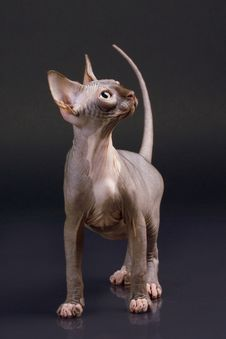 Sphynx Kitten Royalty Free Stock Photography