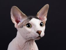 Free Sphynx Male Portraite Stock Image - 16102301