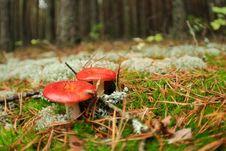 Free Edible Russula Mushrooms Royalty Free Stock Photo - 16102555