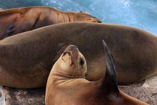 Free Three Sea Lions Royalty Free Stock Photo - 16102785