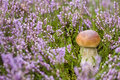 Free Mushroom In Heather Stock Images - 16118224