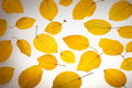 Free Yellow Autumn Leaves Royalty Free Stock Photography - 16118797