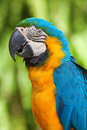 Free A Blue And Yellow Macaw Stock Image - 16118951