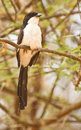 Free Long-tailed Fiscal Stock Images - 16119974