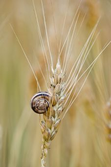 Little Snail On Ear Of Wheat Royalty Free Stock Images