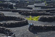 Free La Geria - Vineyard Region Of Lanzarote Stock Photo - 16114660