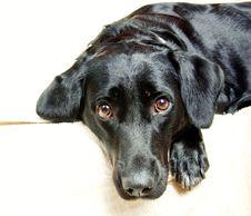 Free The Dog Black Labrador Looks Royalty Free Stock Photos - 16116498