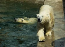 Free Polar Bears Royalty Free Stock Photography - 16117417