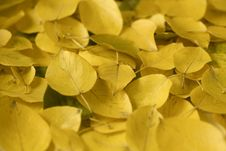 Free Yellow Autumn Leaves Royalty Free Stock Images - 16118789