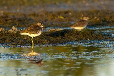 Wood Sandpiper Resting Royalty Free Stock Photos