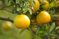 Oranges On A Tree Stock Images