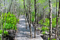 Free Mangrove Forest Boardwalk Royalty Free Stock Photography - 16124457