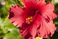 Free Close Up Of Bright Red Hibiscus Royalty Free Stock Images - 16124609