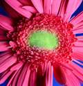 Free Red Gerbera Royalty Free Stock Photography - 16127197