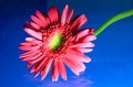 Free Red Gerbera Royalty Free Stock Photo - 16127235