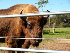 Free Bison Stock Photography - 16120132