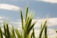 Free Wheat Royalty Free Stock Photos - 16121338