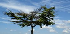 Free Lone Pine Tree With A Broad Crown Royalty Free Stock Image - 16122006