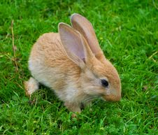 Free Little Brown Bunny On Grass Royalty Free Stock Photos - 16122358