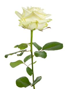 Free Beautiful White Rose Stock Photography - 16122532