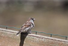 Free Sparrow On A Wooden Barrier Stock Image - 16124111