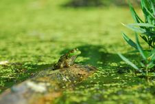 Free Frog On A Log Stock Photography - 16124592