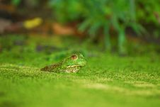 Free Frog In A Bog Royalty Free Stock Photo - 16124615