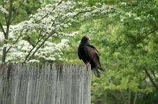 Free Turkey Buzzard On Wooden Fence Stock Image - 16124691