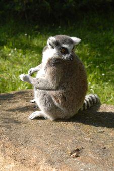 Free Lemur Royalty Free Stock Photography - 16125577