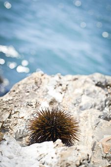 Free Sea Urchin Stock Photography - 16126552