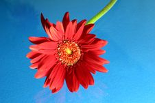Free Red Gerbera Stock Photography - 16127262
