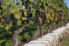 Free Vine Stock Image - 16127381