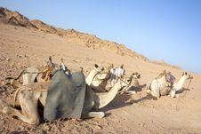 Free Egyptain Camels In The Desert Royalty Free Stock Photos - 16146948
