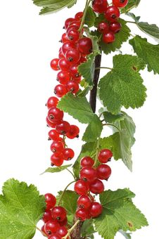 Branch Of A Red Currant Isolated